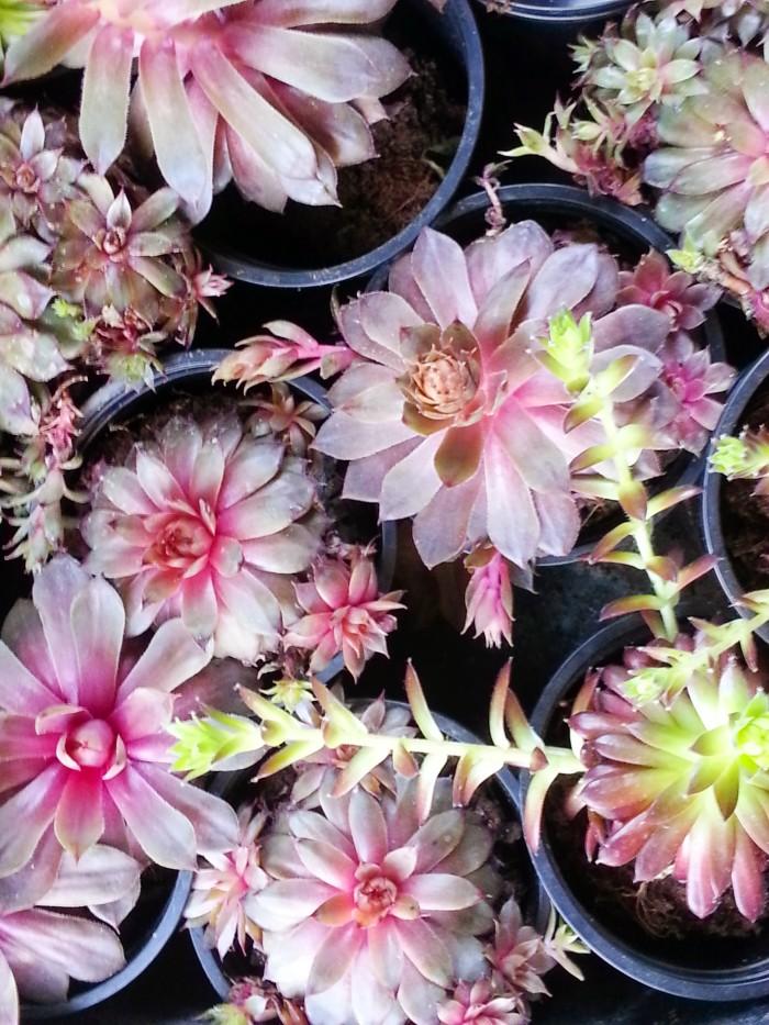 Succulents at Gilles Pothier