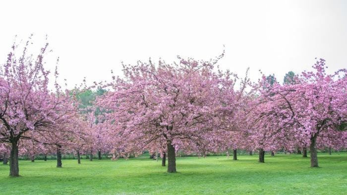 Parc de Sceaux, Paris, France Cherry Blossoms