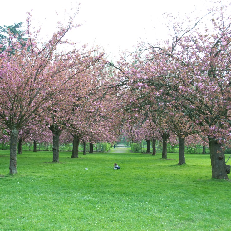 Parc de Sceaux, Paris, France Cherry Blossoms
